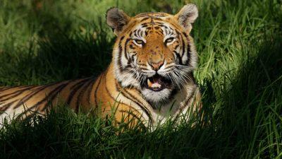 Bedreiging en bescherming van de Bengaalse tijger