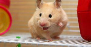 Hamster als huisdier