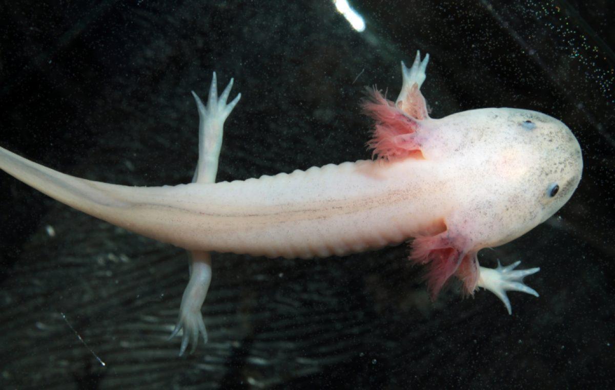 De Axolotls