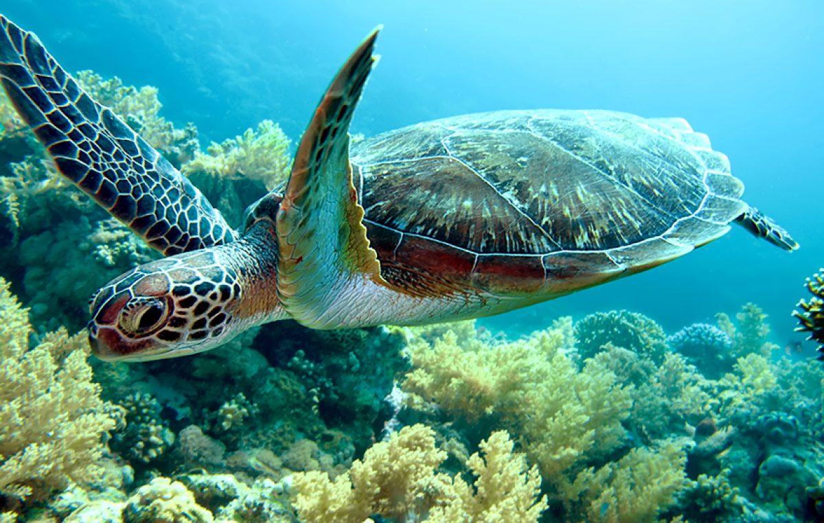 Geelwangschildpadden