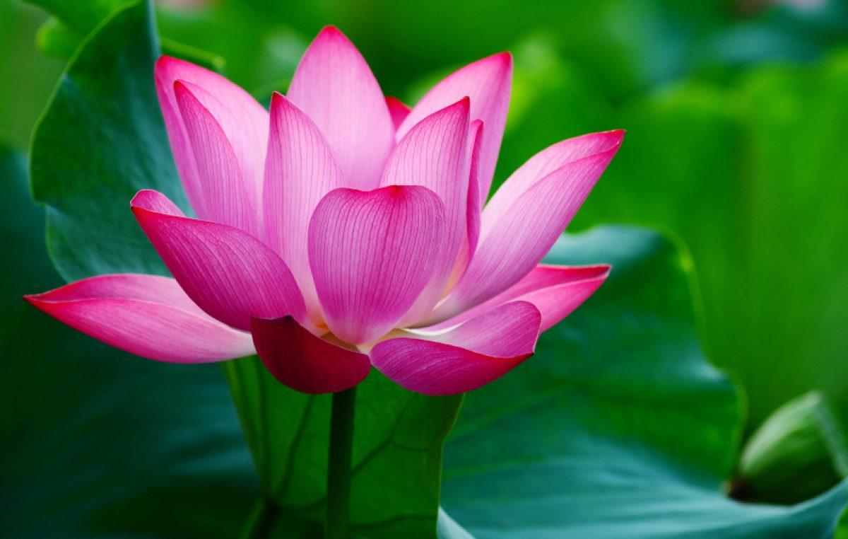 De Heilige Lotus
