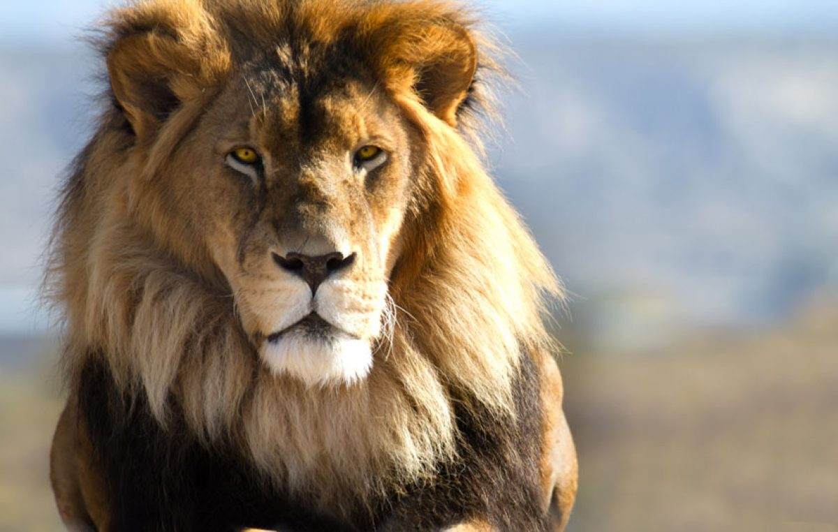 Wat is een leeuw?