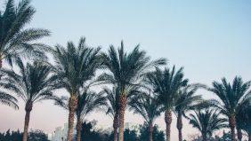 De palmboom