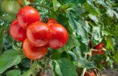 De tomatenplant